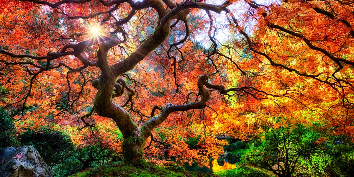 Japanese-oak-trees.jpg